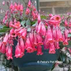 Kalanchoe manginii petras pot plants common name chandelier plant aloadofball Choice Image