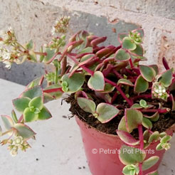 Crassula Isabella | Petra's Pot Plants